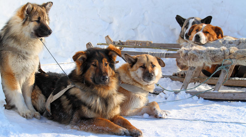 huskies-by-a-dog-sled-in-snow