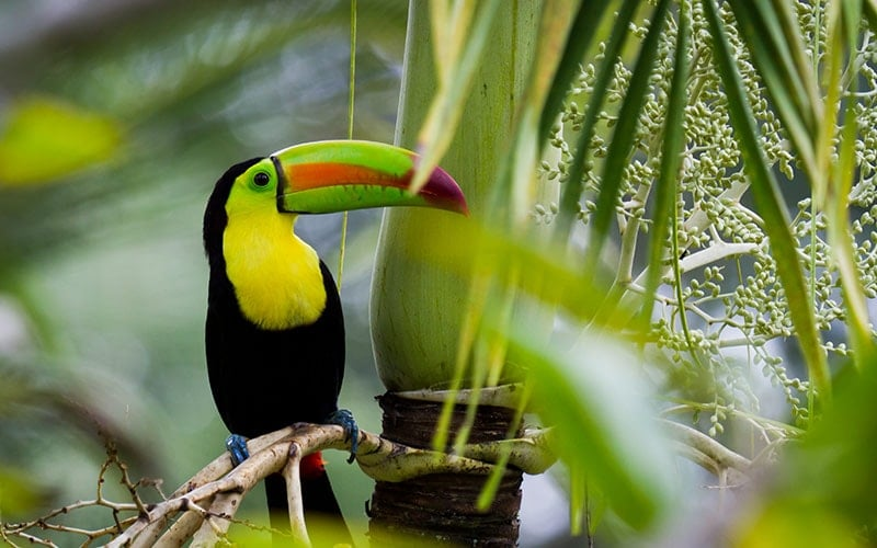 keel-billed-toucan-belize