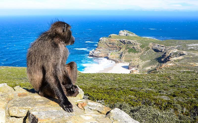 monkey-cape-town