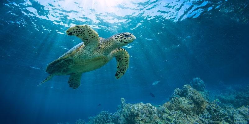 green-sea-turtle-maldives-reef