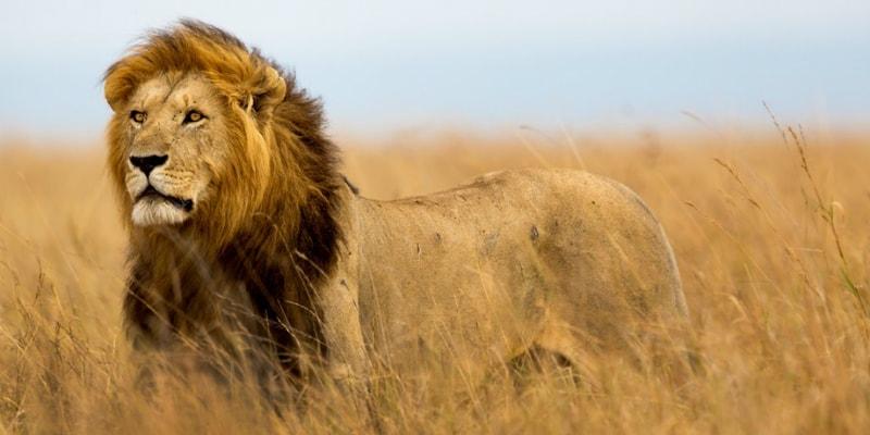 Kenya-Africa-Lion