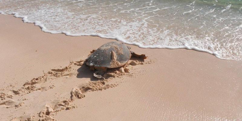 hawksbill-turtle-on-beach-in-seychelles