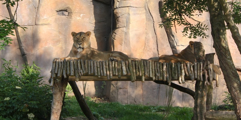 lions-lying-down-at-zsl-london-zoo
