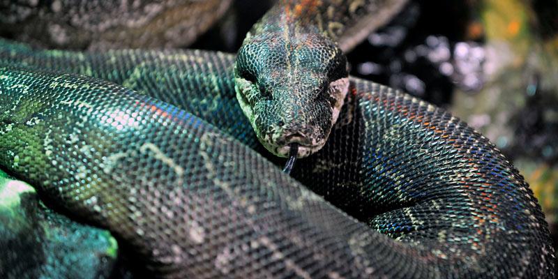 agentine-boa-snake-at-zsl-london-zoo