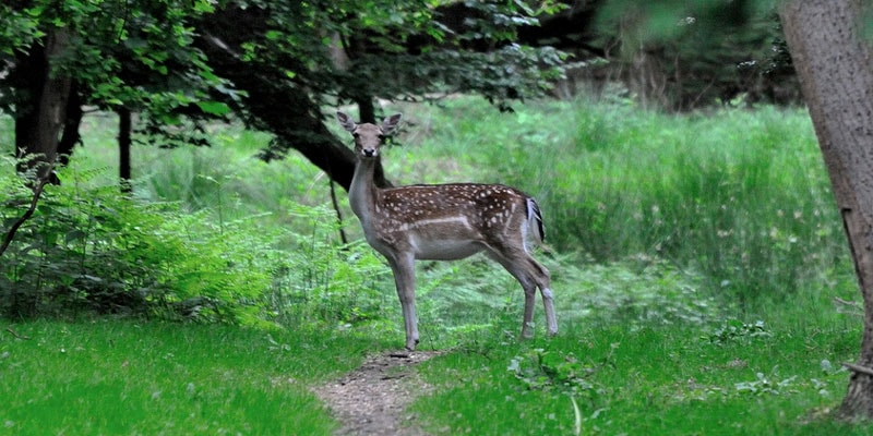 deer-in-epping-forest