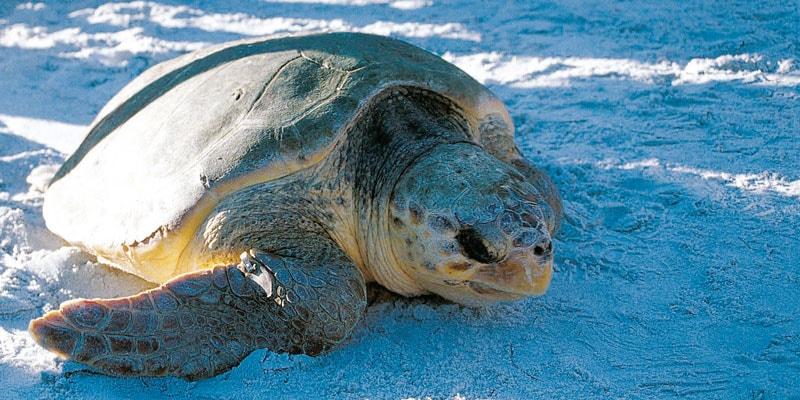 natural-florida-sea_turtle