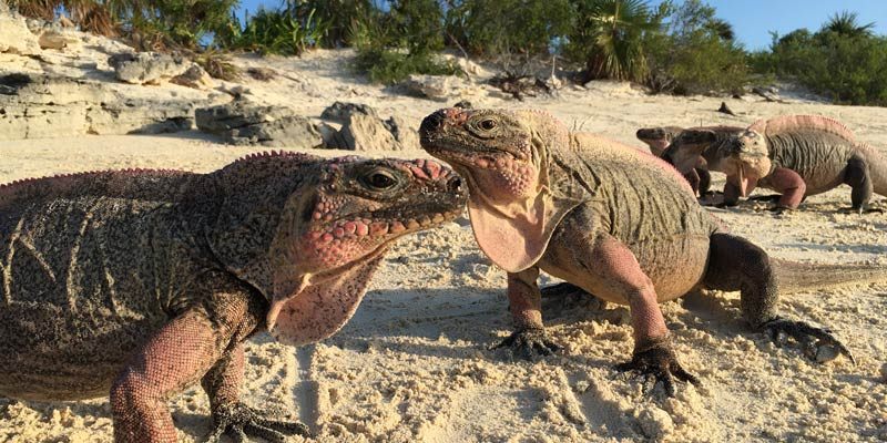 iguanas-on-leaf-cay-islannd-in-exumas-bahamas
