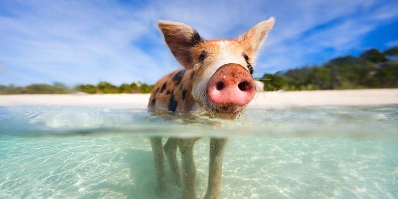 swimming-pig-in-water-bahamas