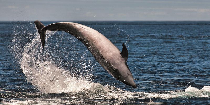 Azores-Dolphin