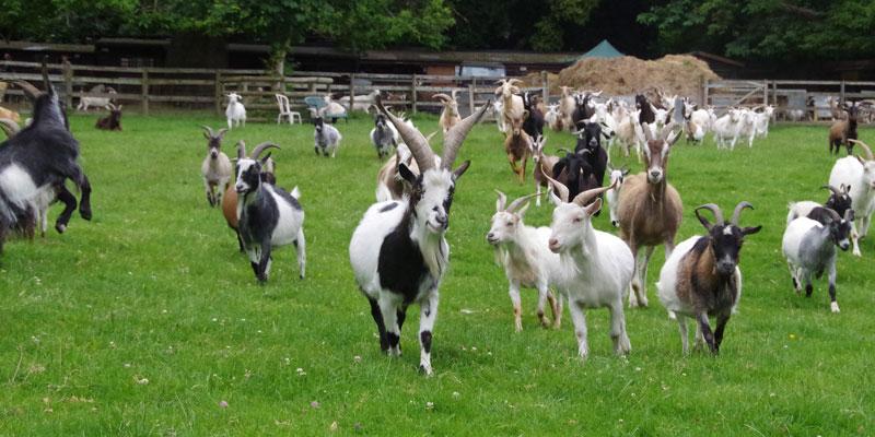 buttercups-sanctuary-for-goats kent