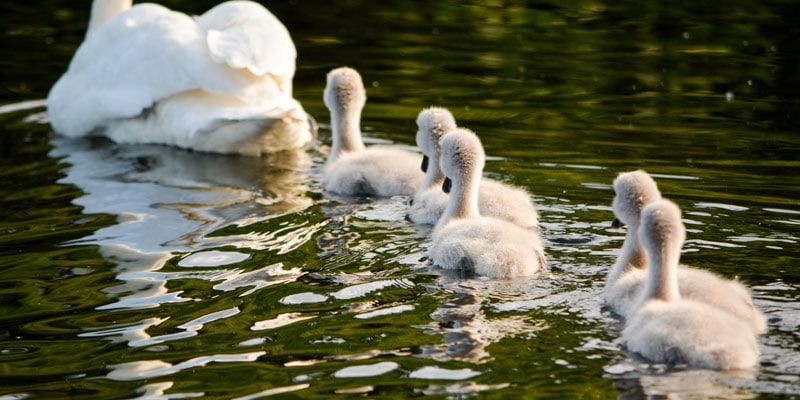 signets-and-swan-in-the-sunshine