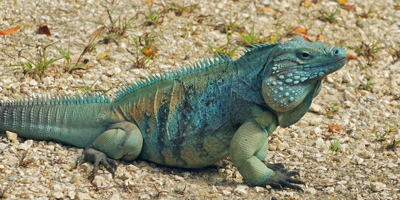 Blue-Iguana-Grand-Cayman