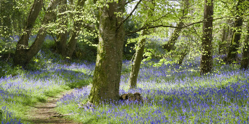 Bluebell-wood-at-Godolphin-©National-Trust-Images-Andrew-Butler