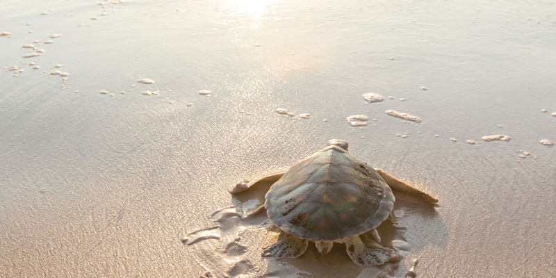 florida-turtle