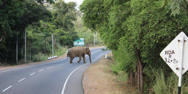 sri-lanka-Elephant-crossing