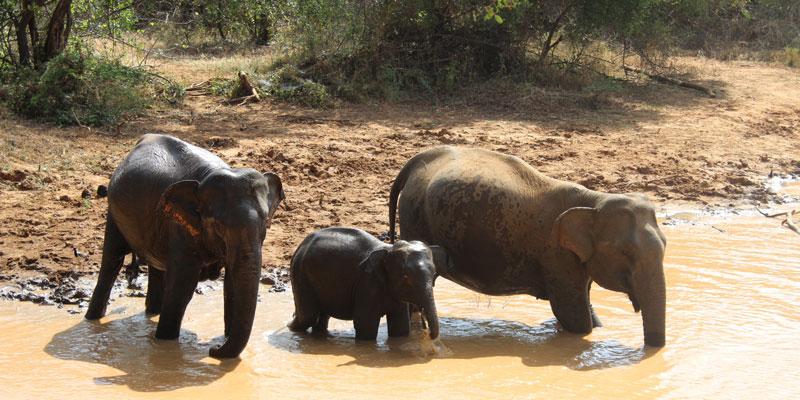 sri-lanka-Elephants-playing-at-Yala-National-Park