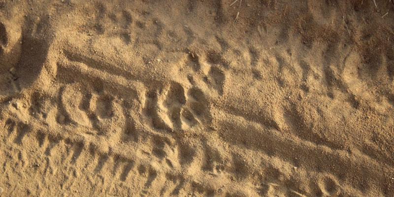 sri-lanka-Leopard-tracks-at-Yala-National-Park