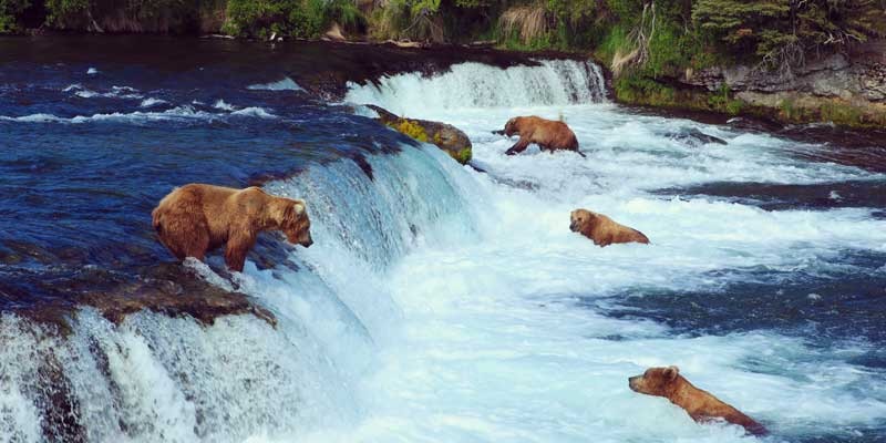 grizzily-bears