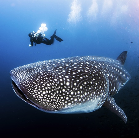 Dive with whale sharks in the Galapagos between June and December