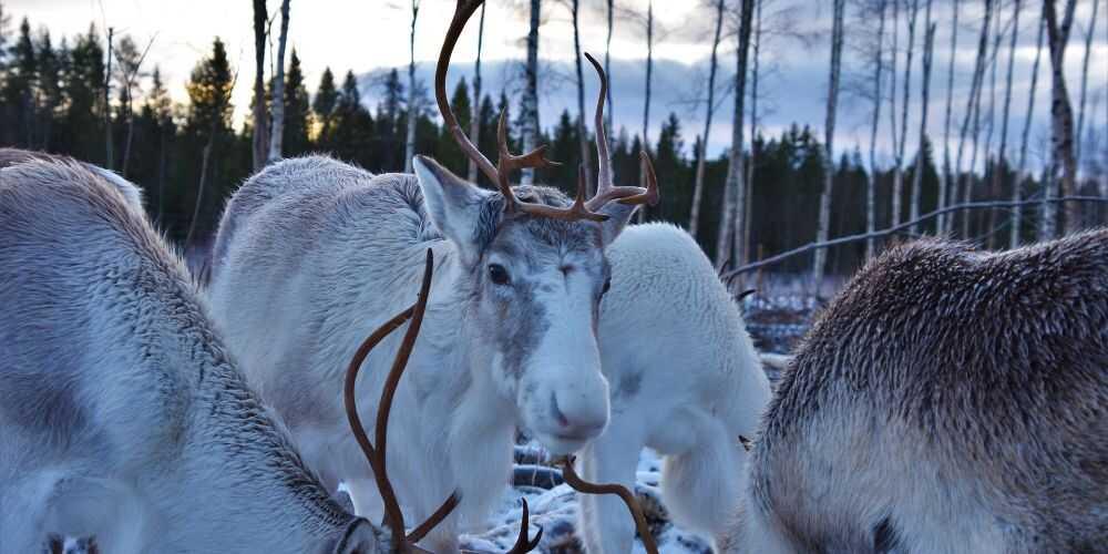 Lulea Swedish Lapland Sami reindeer in snowy winter landscape