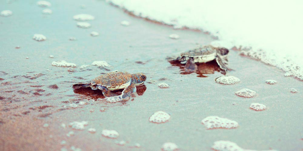 Turtles Costa Rica beaches