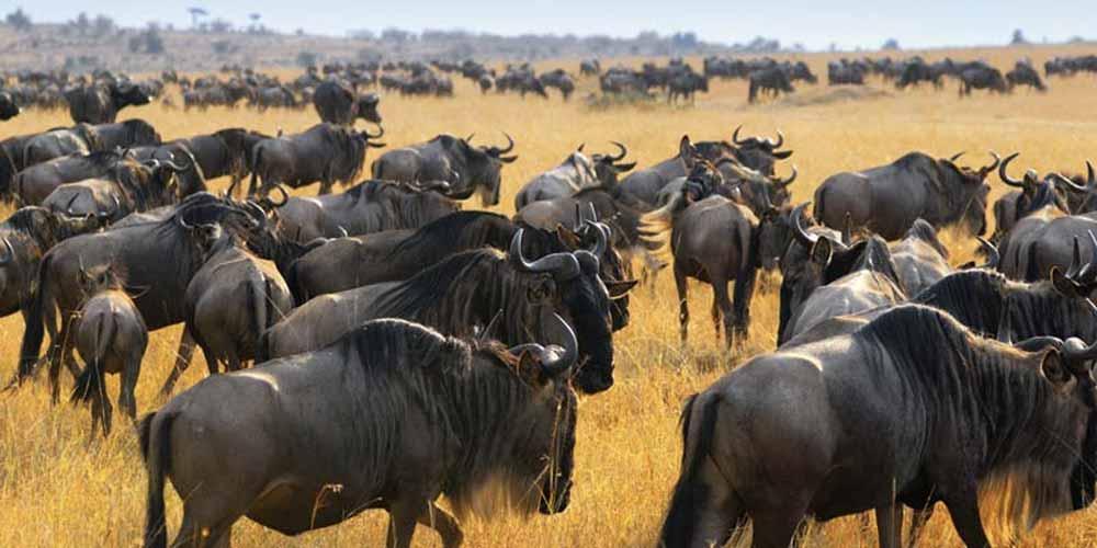 Wildebeest at Maasai Mara, Kenya