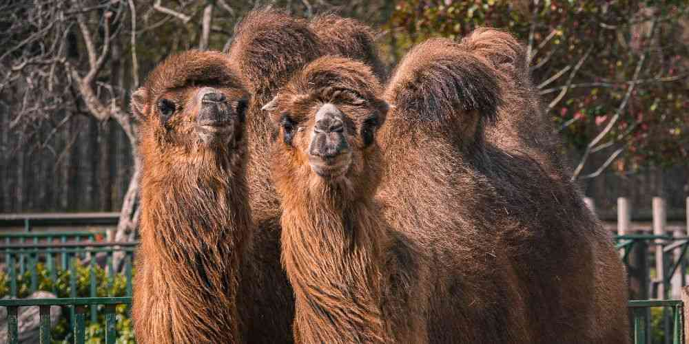 Paradise Wildlife Park camels