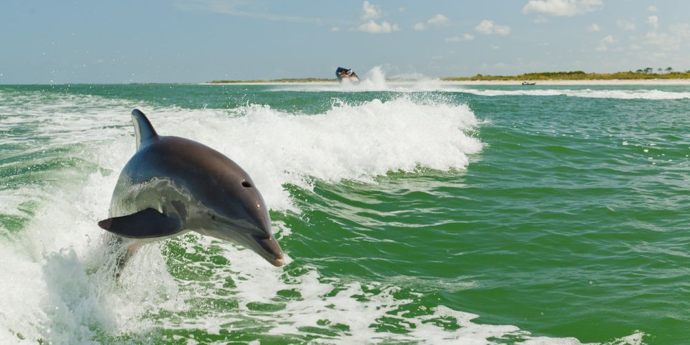 Wild Dolphin on a Dolphin Cruise St Petersburg Florida family holiday